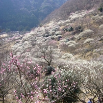 湯河原梅林『梅の宴』