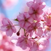 淡いピンクの桜が約1か月咲き続ける「河津桜」