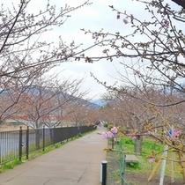 2012/02/24現在の河津桜(川沿い)