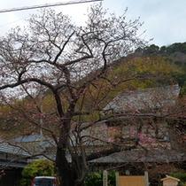 2012/02/24現在の河津桜(原木)今は2分咲きといったところでしょうか…