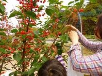 さくらんぼの収穫