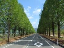 メタセコイア並木 新緑