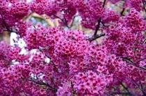 日本一早い桜祭り♪