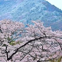 当館前庭の桜