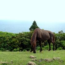 周辺観光/都井岬の野生御崎馬。