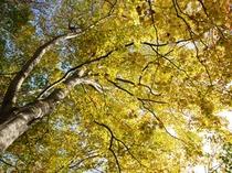【ブナ林】9月下旬から木々の紅葉がはじまります。10月後半が見頃です。