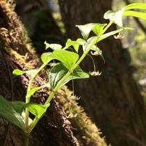 高山植物(タケシマラン)