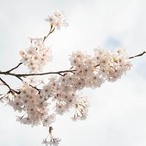 *桜/当館から車で約20分の天王桜も有名な桜スポットの一つです。