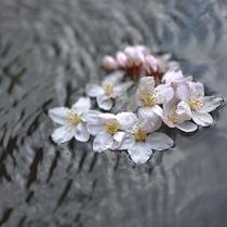 *露天・男性/春は花見露天がとても美しいです。はらはら舞う花弁を見ながら温泉を愉しんで