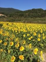 ひまわり畑 「遅咲きのひまわり」