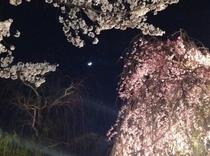祇園白川 辰巳橋の月と桜、徒歩圏に桜の見所がいっぱい!