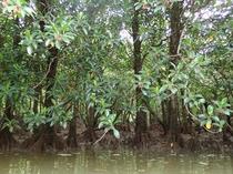 マングローブ原始林