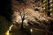 松川遊歩道 ライトアップされた桜