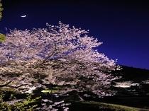 栗林公園の夜の桜