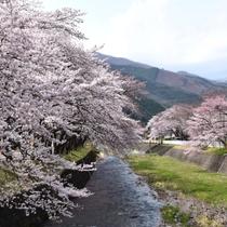 釜石の春_桜木町の桜並木
