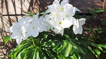 敷地内に咲くプルメリア