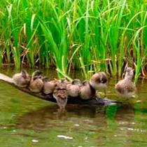*夏/カヌー散策中にはかわいい親子鴨の姿も見られるかも♪