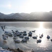 *冬/屈斜路湖に飛来するオオハクチョウ。マイナス15度以下の朝にはダイヤモンドダストも見られま