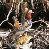 *春/カヌークルーズでは、仲良く水面を泳ぐオシドリの姿を見られることも♪