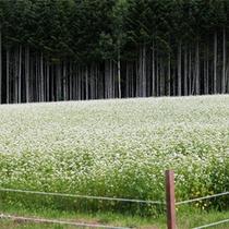 *夏/一面に咲く蕎麦の花を見るのもこの季節の楽しみ。