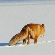 *冬/キタキツネ発見!他にもエゾシカ、ミンクなどの野生動物に出会えるかも♪
