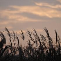 *【周辺観光】秋に楽しめる稲取細野高原に広がる黄金色のすすきの大群生。