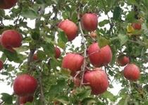 近隣のリンゴ畑から