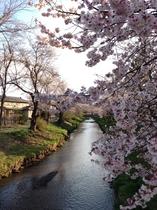 忍野 お宮橋と桜と富士山