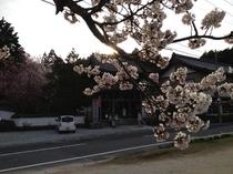 如意寺 桜