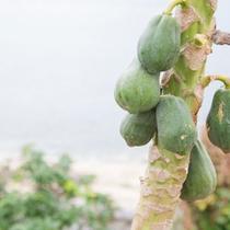 庭にはパパイヤの木