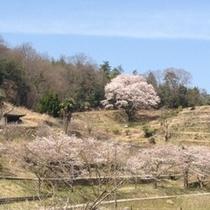 宿根の一本桜  素敵な景勝地です。