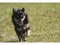 看板犬 チワワのララ 2010年生まれ