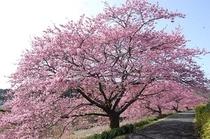 みなみの桜と菜の花まつりの桜並木