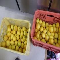 伊豆といえばニューサマーオレンジ 無農薬で作られた農家直送の逸品!!