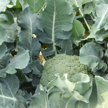 冬野菜の収穫の様子(ブロッコリー)