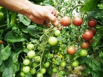 自家菜園のトマト
