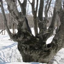 *【あがりこ大王 冬】独特な樹形が特徴で空へ向かい大きく広がる様はとても神秘的です。