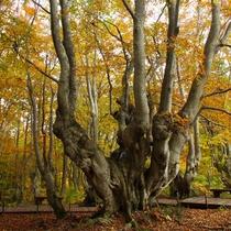 *【あがりこ大王 秋】樹齢300年、幹周りは7m超えの森の「大様」