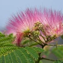 *【合歓(ねむ)の木】松尾芭蕉の有名な俳句にも詠われた美しい花。