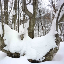 *【あがりこ大王 冬】樹齢300年、幹周りは7m超えの森の「大様」