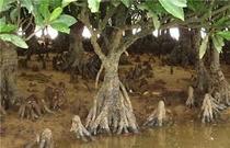 億首川に生息するマングローブ
