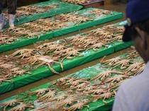 京丹後網野町「浅茂川漁港」の蟹セリ