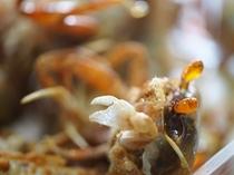 スナガニ(砂蟹)