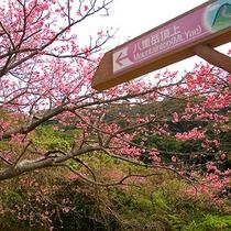 本部八重岳さくら祭り(2016/1/23~2/7) 車で30分の八重岳桜の森公園