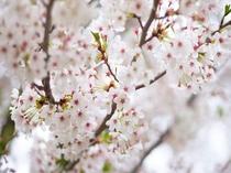 高山村の桜