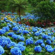 【饒平名あじさい園】 美しいあじさいの花が咲く園内 見頃は5月中旬から6月中旬
