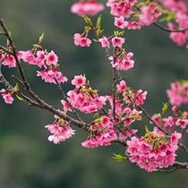 【本部八重岳さくら祭り】ホテルから車で25分、八重岳桜の森公園のカンヒザクラ