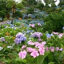 【饒平名あじさい園 車で20分】 さまざな色のあじさいが咲き誇ります 見頃は例年5月中旬から6月中旬