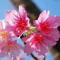 美しいカンヒザクラ。【本部八重岳さくら祭り】(2017年1/24~2/5予定) 車で25分の八重岳桜