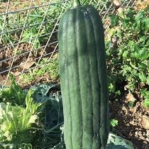 *【家庭菜園】ヘチマです。ここまで大きくなりました。